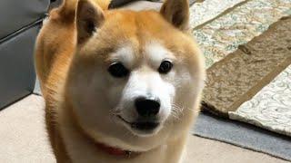急に謎の煽り顔をしてくる柴犬