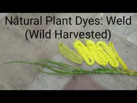 Natural Plant Dyes: Weld