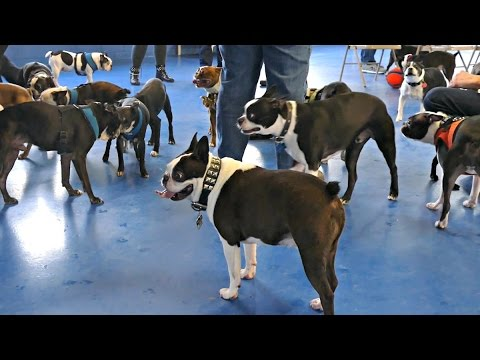 Boston Terrier Madness IV