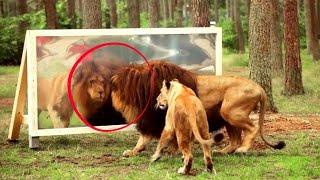 Dzikie zwierzęta po raz pierwszy widzą swoje odbicie w lustrze! Nie uwierzycie jak reagują!