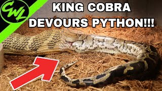 KING COBRA EATS FLORIDA PYTHON!!!