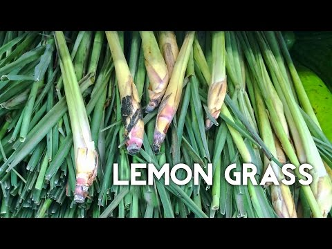 Lemongrass: Grow Harvest & Preserve EZ method from grocery store lemon grass