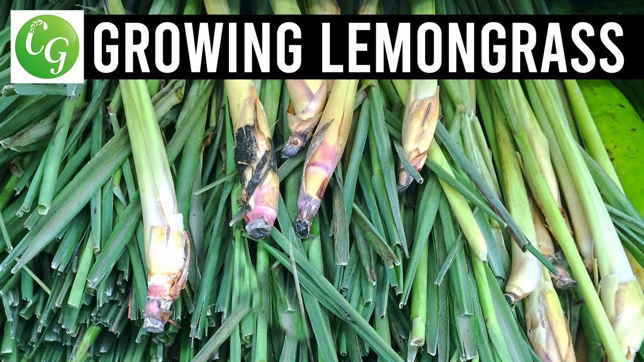 How to grow lemon grass - Lemongrass Grow Harvest Preserve Ez Method From Grocery Store Lemon Grass Youtube