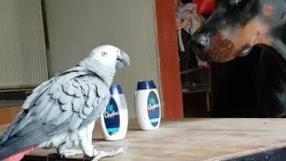 Perroquet qui dispute un Dobermann
