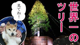 柴犬小春 「見てね!」これぞ世界一のツリー!Koharu visits the world's largest Christmas tree!