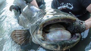 Рыбалка на СОМА! Как ловить больших сомов? 2019
