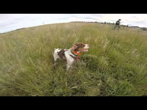Brittany Spaniel vs. English Pointer POINT OFF!