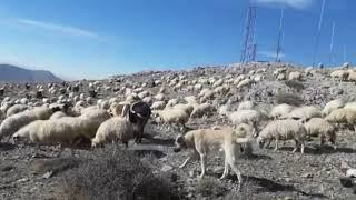 Kangal Çoban Köpekleri Dağ Hayatı Koyun Sürüsü