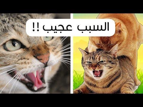 لماذا تـ ـصرخ القطة اثناء التـ ـزواج ؟ السبب عجيب !!
