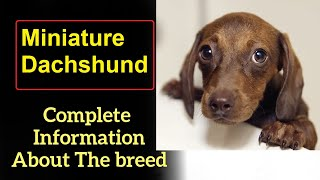Miniature Dachshund. Pros and Cons, Price, How to choose, Facts, Care, History