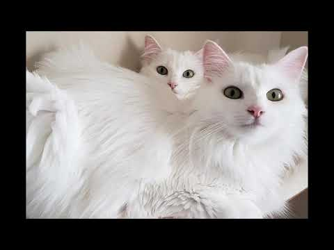 PERSIAN vs ANGORA( what is the difference?? )