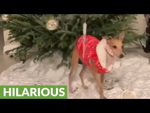 Dog uses Christmas tree to scratch backside