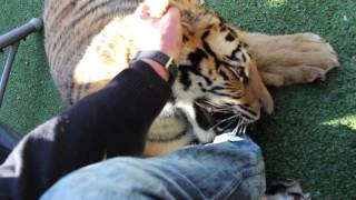 Mauled by a tiger !