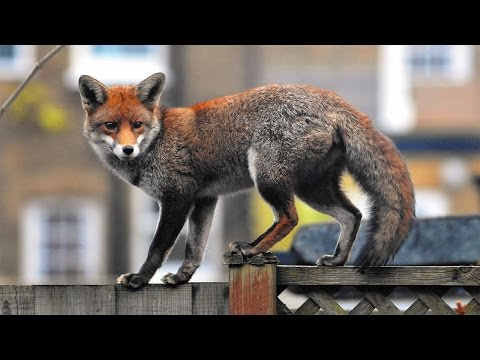 Meet The Foxes (2007) - Urban Fox Documentary (FULL)