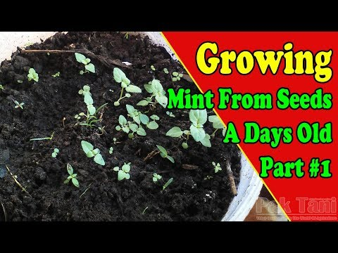 How To Growing Mints At Home From Seeds By Gardening008