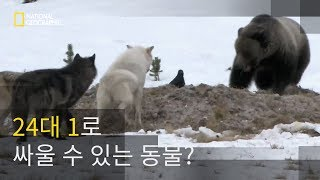 설원에서 펼쳐지는 혈투, 회색 곰 vs 회색 늑대