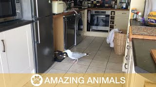 Cheeky Seagull Storms Into House And Steals Cat Food