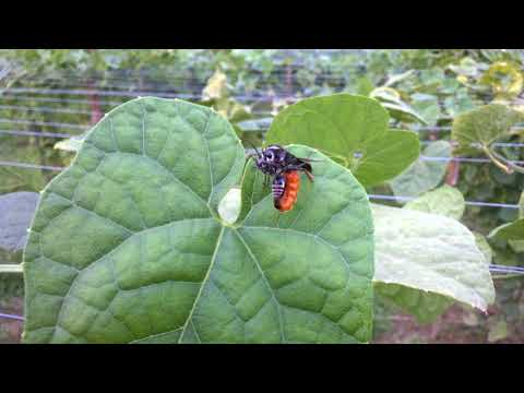Sex of Fly  (Mating of Sawfly)