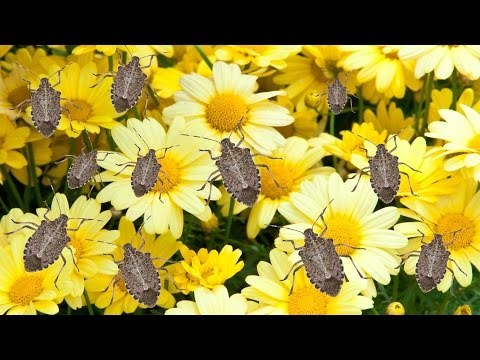 How to Get Rid of Stink Bugs - The Grumpy Gardener