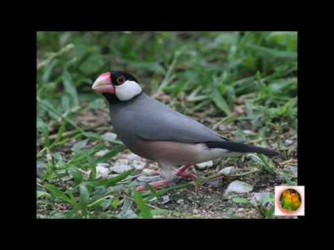 MASTERAN Burung GELATIK JAWA Loop