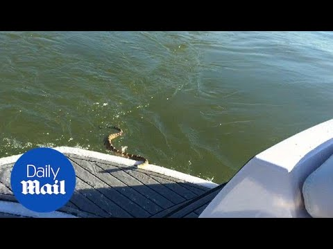 Rattlesnake Attempts To Board Boat Full Of Screaming Friends - Daily Mail