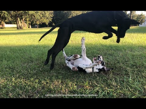 Great Dane Loves to Pounce and Bounce With Puppy