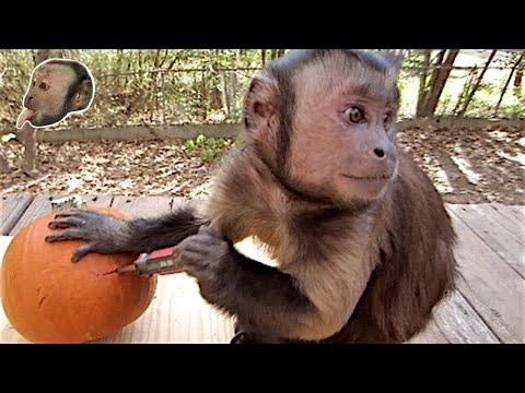 Capuchin Monkey and a Pumpkin!