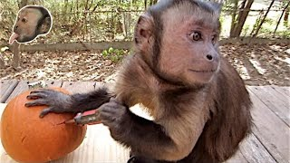 Capuchin Monkey and a Pumpkin!
