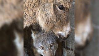 Rührende Aufnahmen! Esel und der Wolf werden beste Freunde!