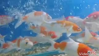 मछली पालन कैसे करें और इससे क्या फायदे / How to fish and what benefits(336)