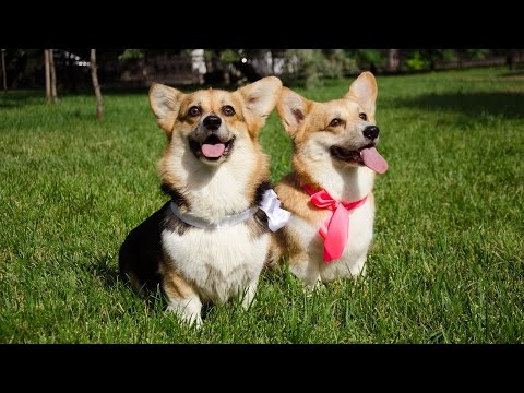 10 interesting facts about Welsh Corgis