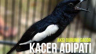 SUARA BURUNG : Soeharto Cup - Aksi Kacer Adipati Burung Gacor Mahal Indonesia