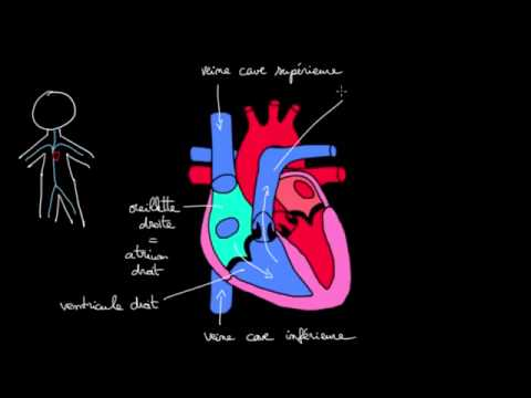 Circulation du sang dans le coeur - YouTube