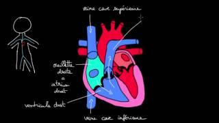 Circulation du sang dans le coeur