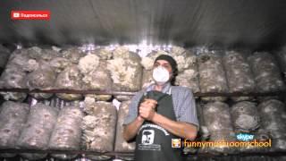 Вешенка и кашель. Можно ли заболеть астмой и раком? выращивая грибы?