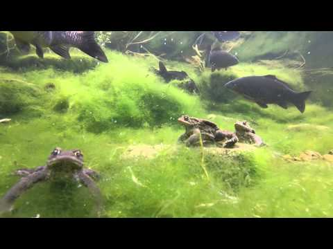 My Koi Pond - The Toads Have Arrive En Masse! GoPro Vid