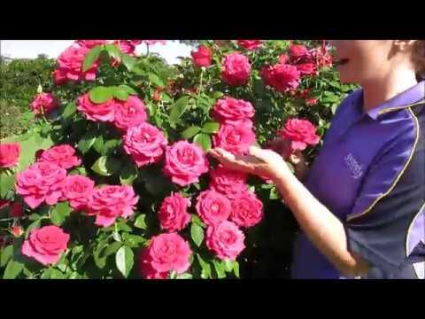 Good Samaritan Rose Swane S Nurseries