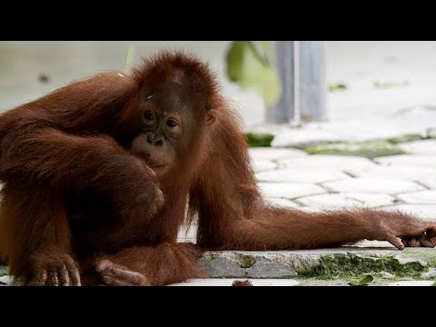 This Young Orangutan is Famous for Cutting Class