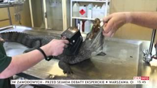 Bliskie spotkania z egzotycznymi zwierzętami w... Polsce (TVP Info, 12.09.2013)