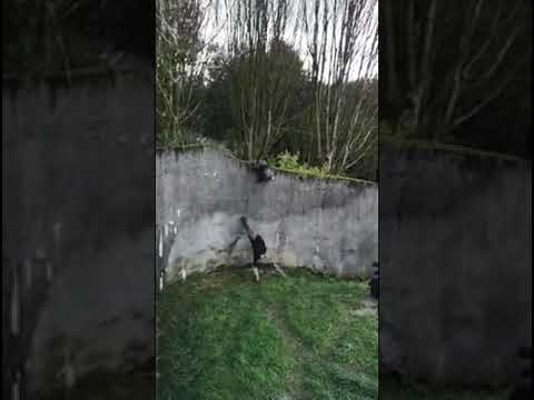 The Mo & Sally Show - Chimps Use Fallen Tree Branch To Stage Zoo Escape