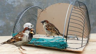 Bird Trap Technology - How To Make A Spring Net Trap For Birds (Works 100%)