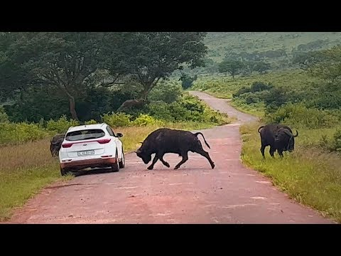 Buffalo Tramples Car in Apparent Road Rage Incident