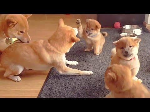 Normal life - No music & no captions (onli 1) MLIP / Ep 188 / Shiba Inu puppies