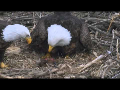 Deborah North Nest Prey Brought To Nest-Might Not Be Suitable For Some Viewers 3/8/16