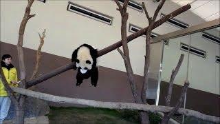 2015.12.18 和歌山のふたごのパンダ。1才になって、体重も30kgを超...