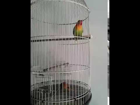 SUARA LOVEBIRD JANTAN PANCING LOVEBIRD BETINA LANGSUNG NGEKEK