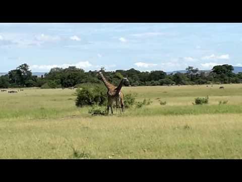Giraffe Training