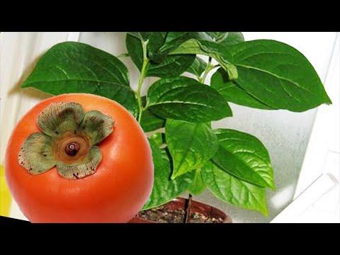 Хурма из косточки в доме! Как вырастить хурму из семени.