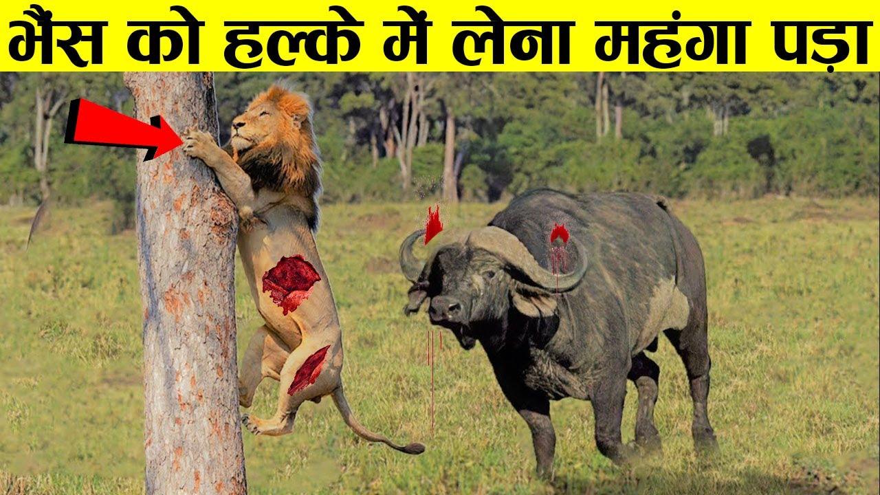 कमज़ोर समझ कर पंगा लेना भारी पड़ गया | Most Savage Animal Rivalries In The World