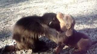 Mali Monkey Playing With A Dachshund Puppy